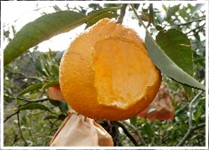 ⑤野生動物がナルトオレンジ栽培に及ぼす影響