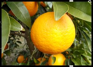 入手困難な香り高い「幻の柑橘」